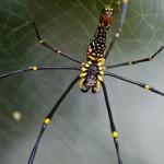 Giant Golden Orb Weaver Spider 02