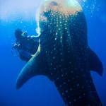 whale shark koh chang 01