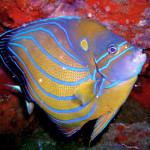 blue ring angelfish koh chang