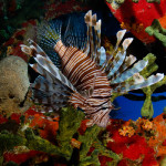 red lionfish koh chang 1