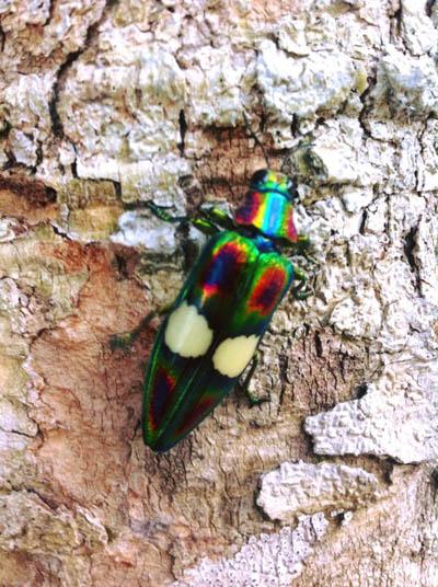 Jewel Beetle - Koh Chang Nature | Koh Chang Nature