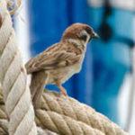 house sparrow koh chang