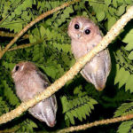 collared owlet Koh Chang