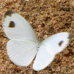 cabbage white koh chang